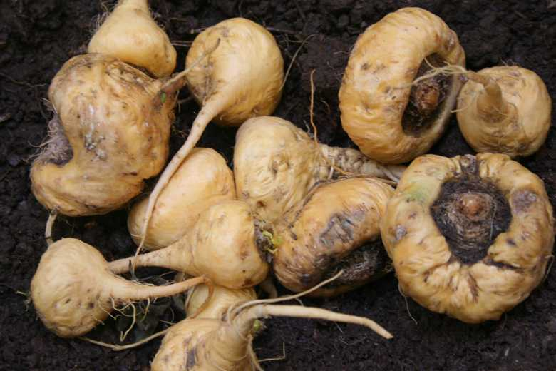maca, the root of life